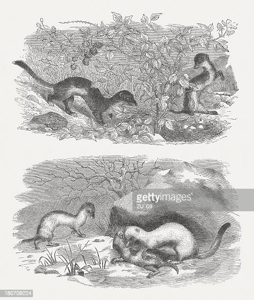 Ermine and Weasel in summer and winter fur, published 1875