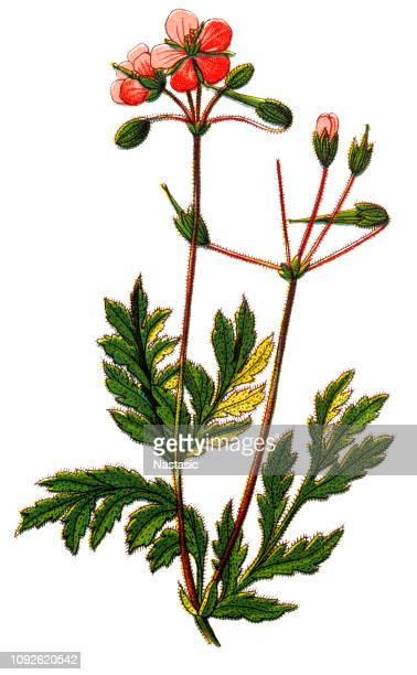erodium cicutarium (redstem filaree) - lithograph stock illustrations