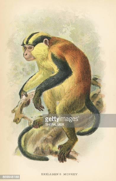 ilustrações, clipart, desenhos animados e ícones de primata erxlebens 1894 - zoologia