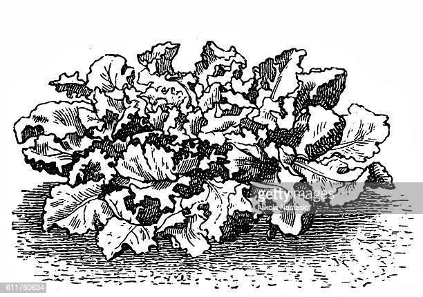 ilustrações, clipart, desenhos animados e ícones de escarole endive (frisee lettuce) - endive