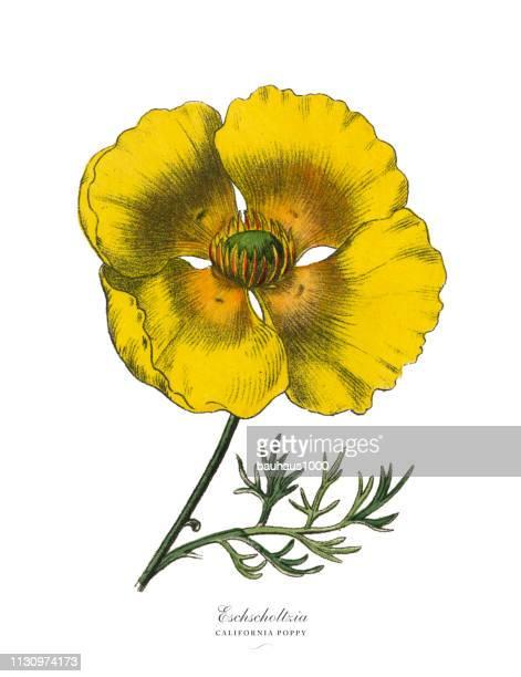 eschscholtzia or california poppy, victorian botanical illustration - poppy stock illustrations