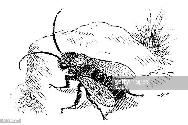 Eucera longicornis ,the long-horned bee.