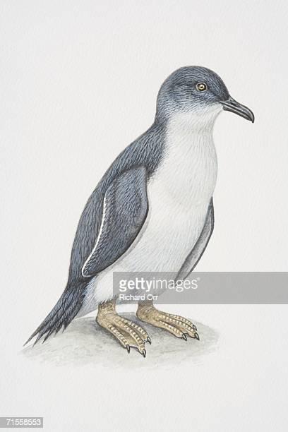 eudyptula minor, little penguin, side view. - webbed foot stock illustrations, clip art, cartoons, & icons