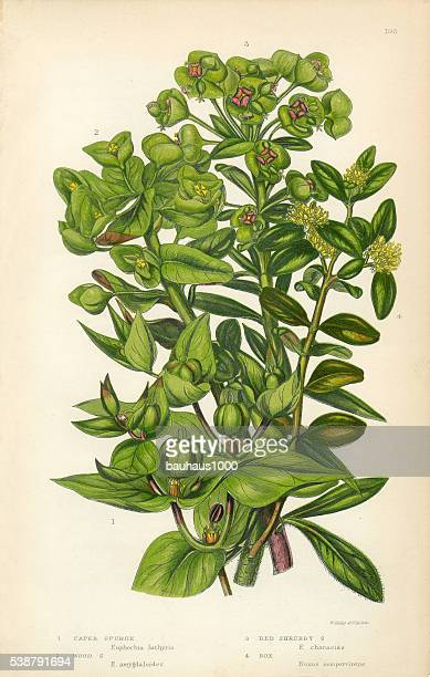 Euphorbia, Spurge, Caper Spurge, Wood Spurge, Capers, Victorian Botanical Illustration