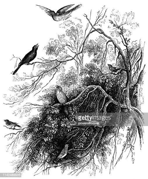 Eurasian Blackbirds - 19th Century