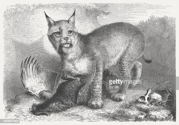 eurasian lynx (lynx lynx), wood engraving, published in 1864 - lynx stock illustrations, clip art, cartoons, & icons