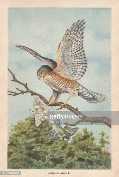 eurasian sparrowhawk (accipiter nisus), chromolithograph, published in 1896 - animals hunting stock illustrations