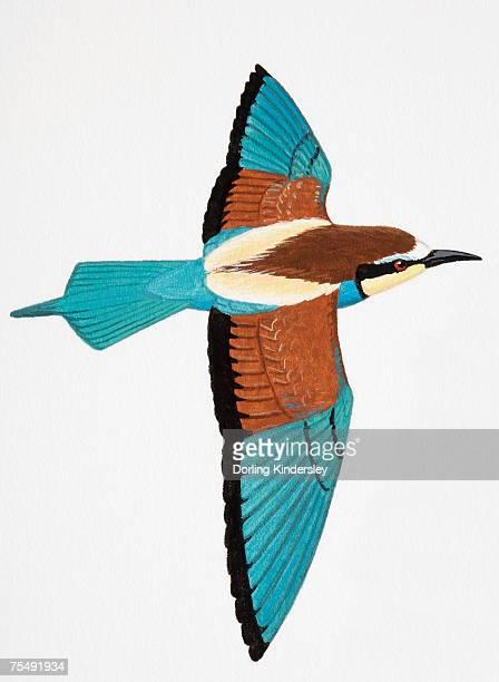 European Bee-eater (Merops apiaster), adult