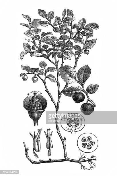 european blueberry (vaccinium myrtillus) - blueberry stock illustrations, clip art, cartoons, & icons