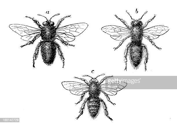 european honey bee (apis mellifera) - queen bee stock illustrations