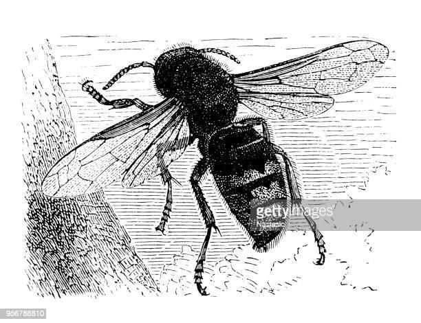 european hornet (vespa crabro) - vespa stock illustrations, clip art, cartoons, & icons