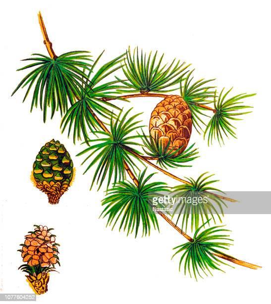 Árbol de Alerce europeo o Larix (Larix decidua). Rama con hojas verdes y conos marrón aisladas sobre fondo blanco