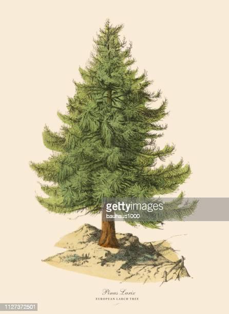 Árbol de Alerce europeo o Pinus Larix, victoriano ilustración botánica