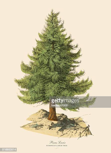 european larch tree or pinus larix, victorian botanical illustration - lithograph stock illustrations