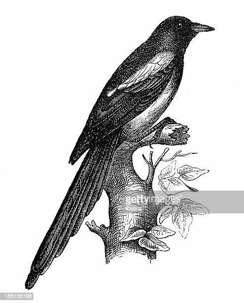 european magpie (pica pica) - magpie stock illustrations