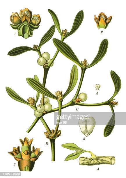 european mistletoe, mistletoe - mistletoe stock illustrations