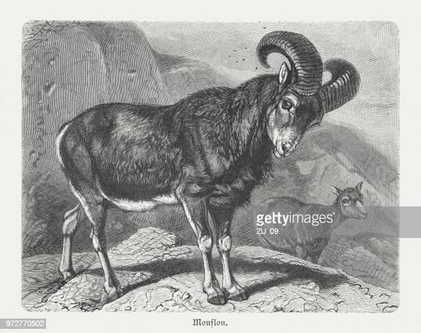 european mouflon (ovis orientalis musimon), wood engraving, published in 1897 - corsica stock illustrations, clip art, cartoons, & icons