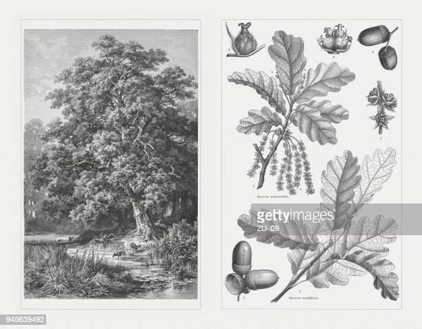 european oak and sessile oak, wood engraving, published in 1897 - oak leaf stock illustrations