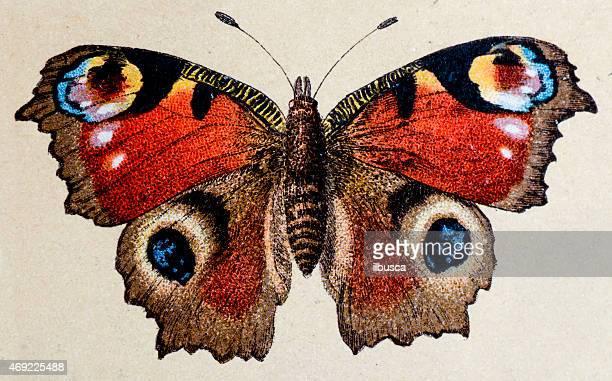 European Peacock (Aglais io), insect animals antique illustration