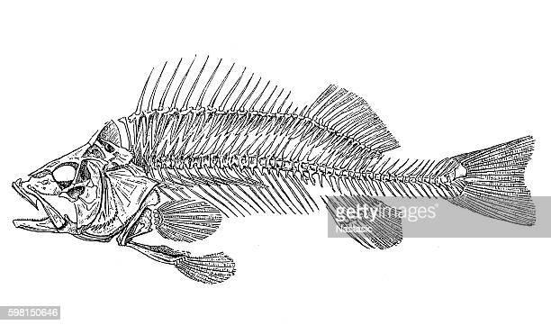 european perch skeleton (perca fluviatilis) - animal skeleton stock illustrations, clip art, cartoons, & icons