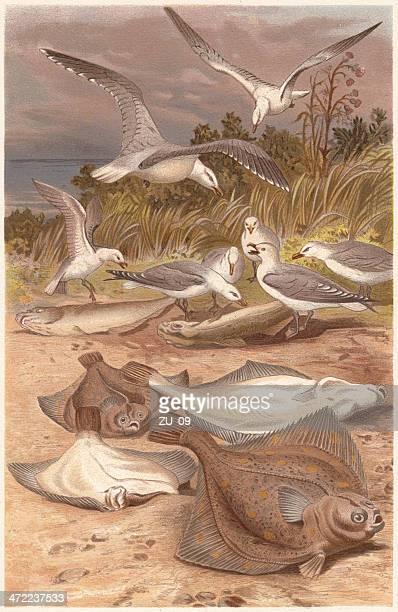 European plaice (Pleuronectes platessa) and seagulls, lithograph, published 1884
