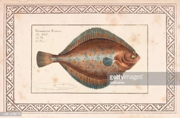European plaice or Pleuronectes platessa fish from 1797
