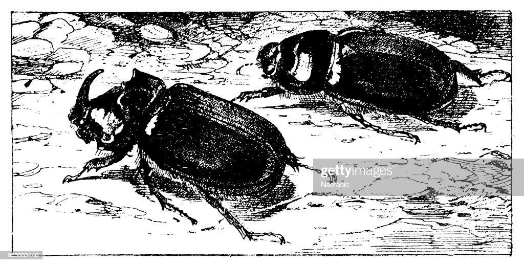 Rhino Beetle Illustration