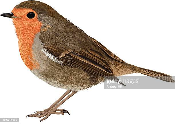 Europäische Robin