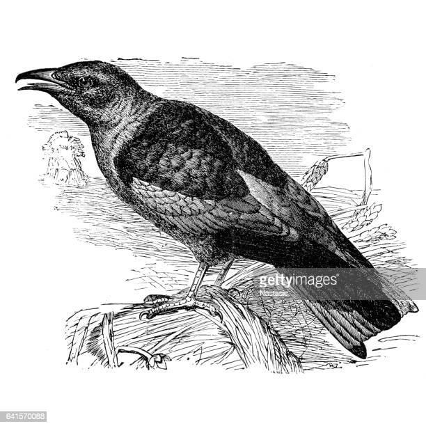 ilustrações, clipart, desenhos animados e ícones de coracias garrulus europeu de montanha - zoologia