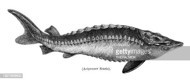 european sea sturgeon fish engraving 1897 - sturgeon fish stock illustrations