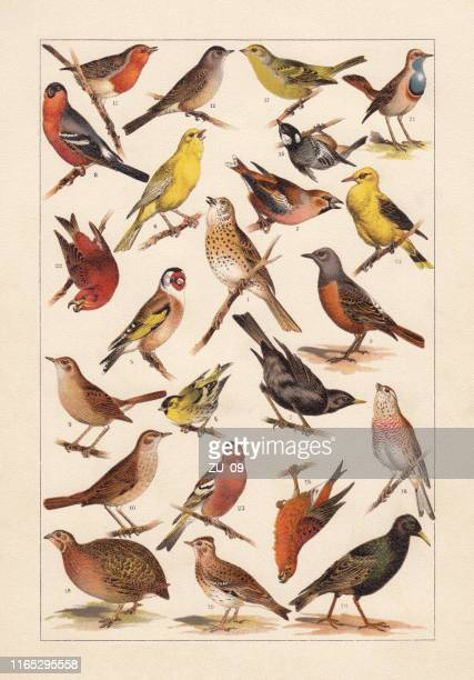 european songbirds, chromolithograph, published in 1896 - lithograph stock illustrations