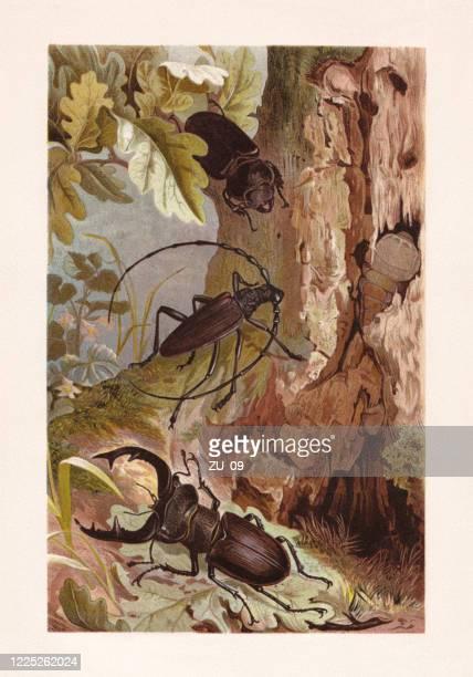 ilustraciones, imágenes clip art, dibujos animados e iconos de stock de escarabajo europeo de ciervos y gran escarabajo capricornio, cromolitógrafo, publicado en 1884 - biodiversidad