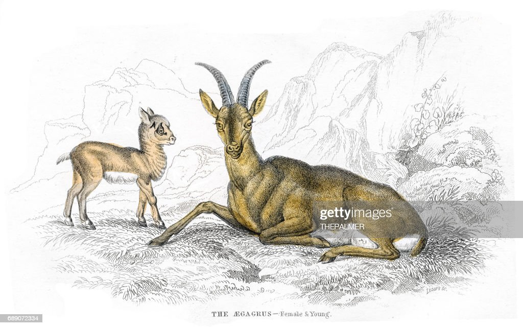European wild goat lithograph 1884 : Stock Illustration