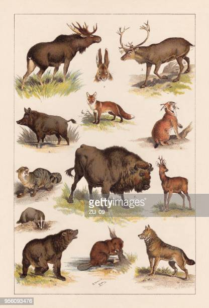 european wild mammals, lithograph, published in 1893 - lithograph stock illustrations