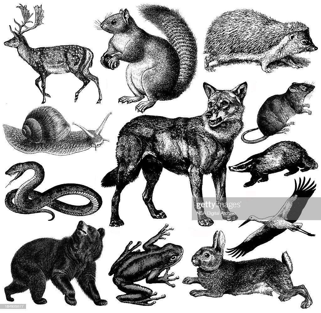Fauna silvestre Europea animales Vintage Clipart ilustraciones / : Ilustración de stock