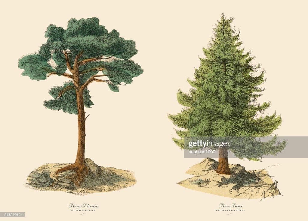 Evergreen Scotch Pine Tree and Larch, Victorian Botanical Illustration : stock illustration