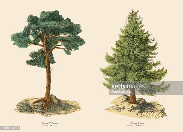evergreen scotch pine tree and larch, victorian botanical illustration - coniferous tree stock illustrations, clip art, cartoons, & icons