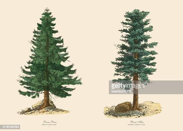 evergreen spruce pine tree and norway spruce, victorian botanical illustration - tree bark stock illustrations, clip art, cartoons, & icons