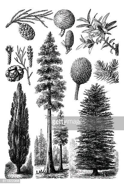 evergreen trees - coniferous tree stock illustrations, clip art, cartoons, & icons