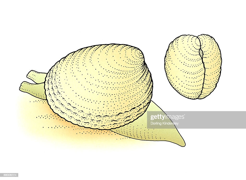 Examples Of Bivalve Mollusks Sea Snail And Shell Only Stock