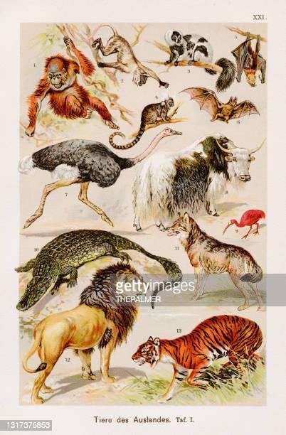 exotische familie chromolithographie 1899 - säugetier stock-grafiken, -clipart, -cartoons und -symbole