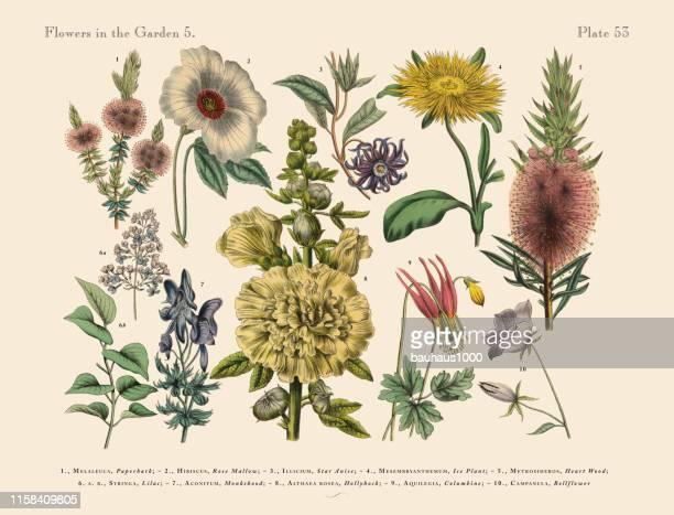illustrations, cliparts, dessins animés et icônes de fleurs exotiques du jardin, illustration botanique victorienne - hibiscus