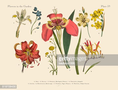 Exotic Flowers Of The Garden Victorian Botanical Illustration Stock