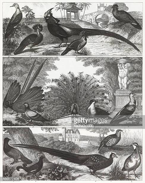 Exotic game birds are shown in a black-and-white engraving.