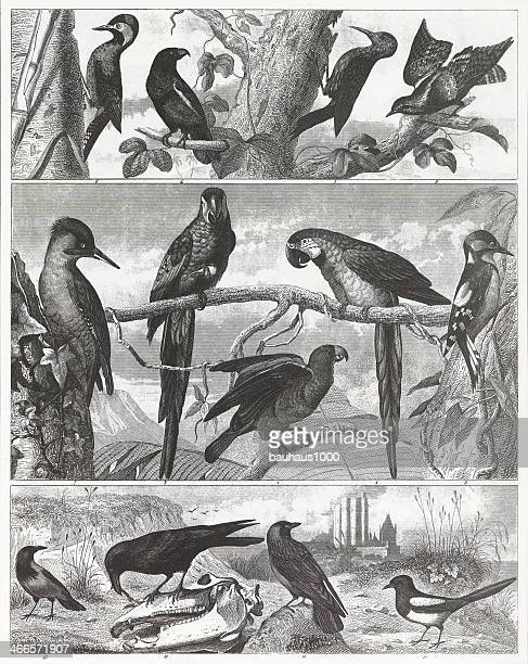 Gravure & oiseaux tropicaux exotiques