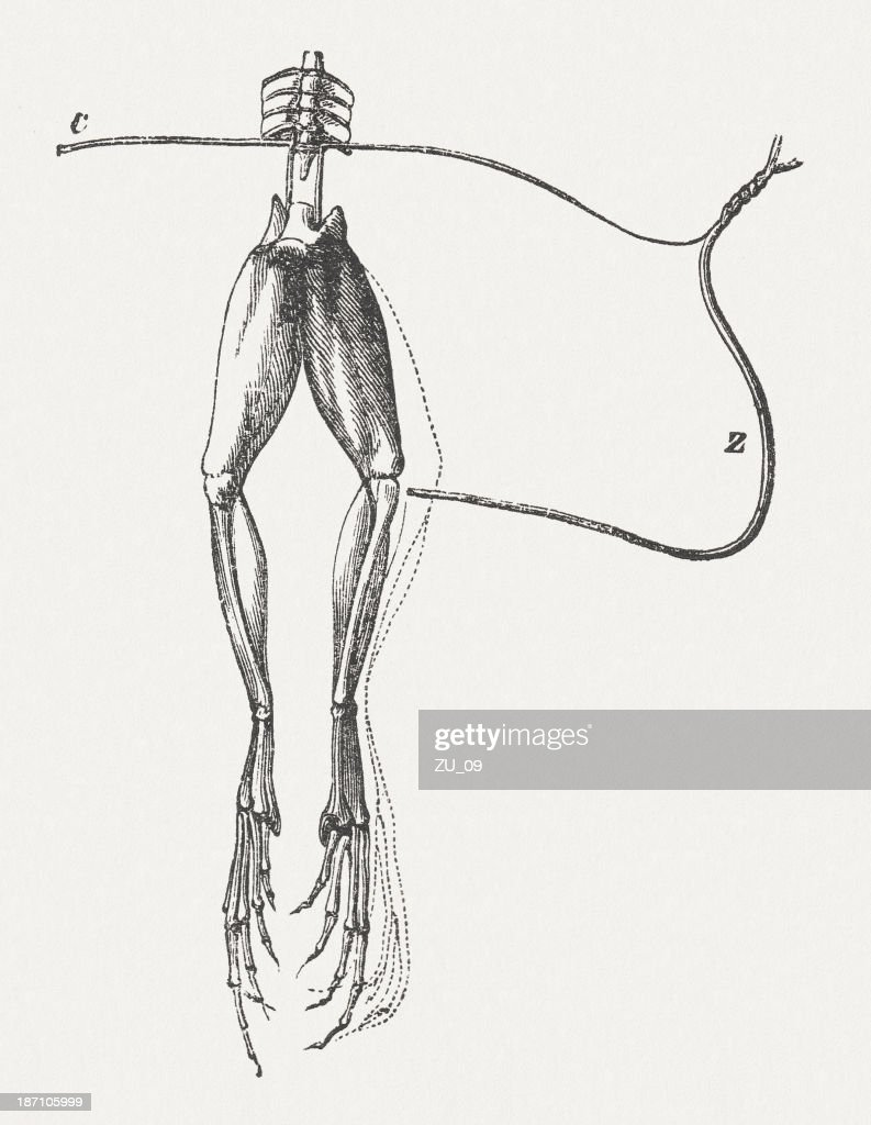 experiment with frogs legs by galvani published 1877 illustration id187105999?s=170667a experiment with frogs legs by galvani published 1877 stock