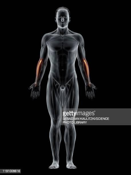 extensor carpi radialis longus muscle, illustration - human muscle stock illustrations