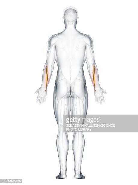 extensor carpi ulnaris muscle, illustration - human back stock illustrations