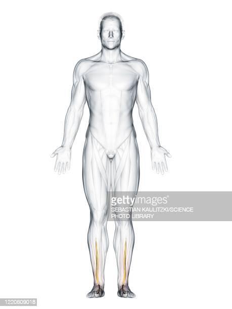 extensor hallucis longus muscle, illustration - the human body stock illustrations