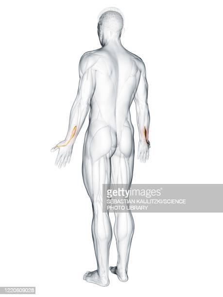 extensor pollicis longus muscle, illustration - human back stock illustrations
